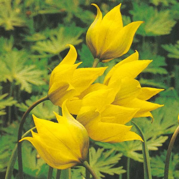 Bilde av Botanisk Tulipan Sylvestris - 8 stk. blomsterløk