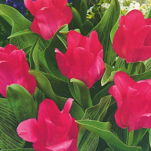 Bilde av Tulipan Perlina  - 6 stk. blomsterløk