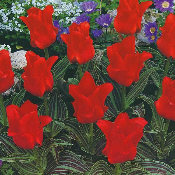 Bilde av Tulipan Red Riding Hood - 10 stk. blomsterløk