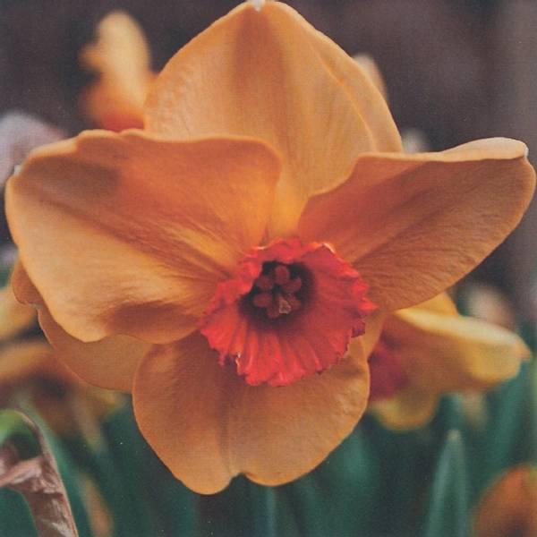 Bilde av Narcis Altruist * - 5 stk. blomsterløk