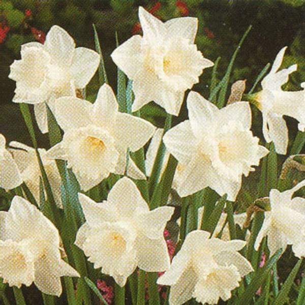 Bilde av Narcis Mount Hood - 5 stk. blomsterløk