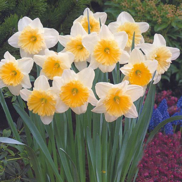 Bilde av Narcis Ice Follies - 10 stk. blomsterløk