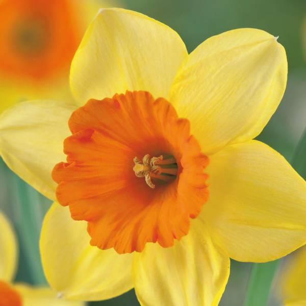 Bilde av Narcis Lovedy - 5 stk. blomsterløk