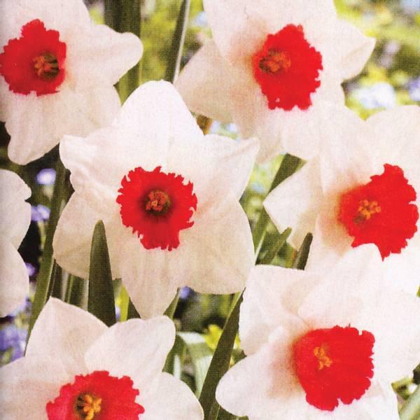Bilde av Narcis Decoy - 5 stk. blomsterløk