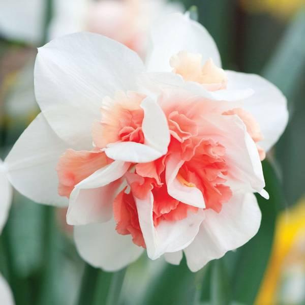 Bilde av NYHET! *Narcis Replete - 5 stk. blomsterløk