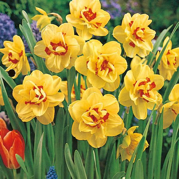 Bilde av Narcis Tahiti  - 5 stk. blomsterløk