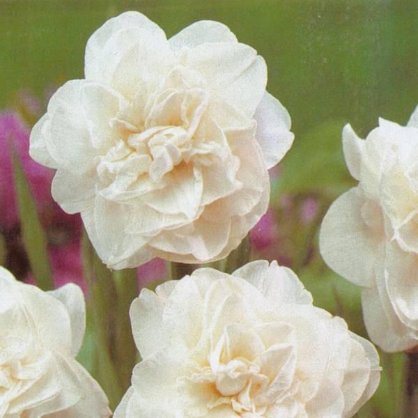 Bilde av Narcis Obdam - 5 stk. blomsterløk