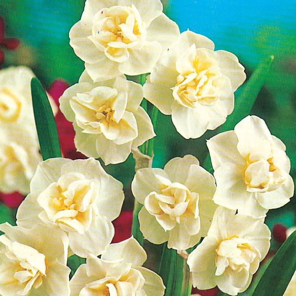 Bilde av Narcis Cheerfulness* - 15 stk. blomsterløk