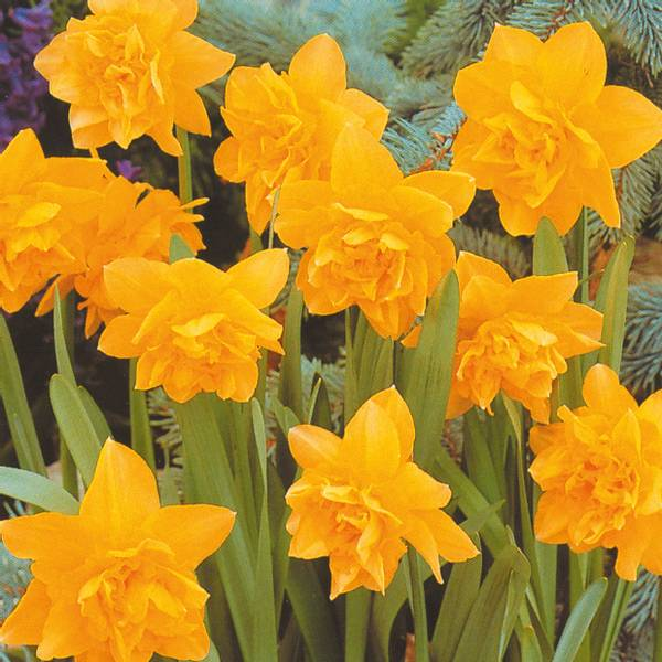 Bilde av Narcis Dick Wilden* - 10 stk. blomsterløk