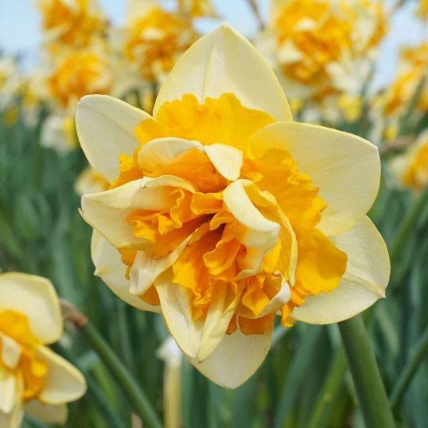 Bilde av NYHET! Narcis Jersey Star - 5 stk. blomsterløk