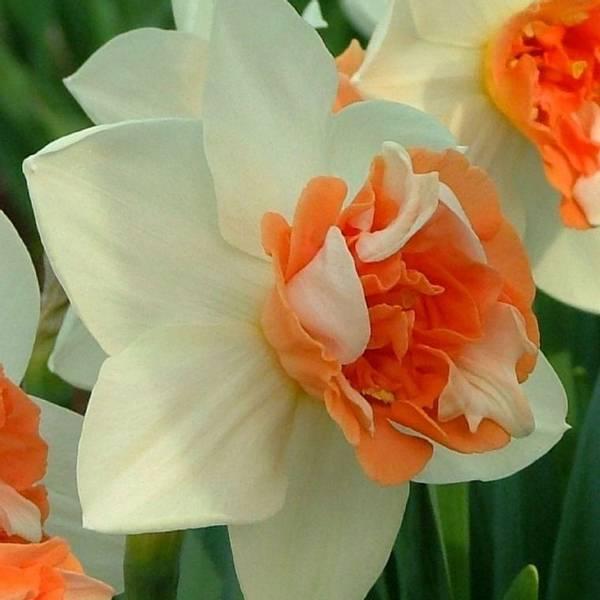 Bilde av Narcis Candy Princess - 5 stk. blomsterløk