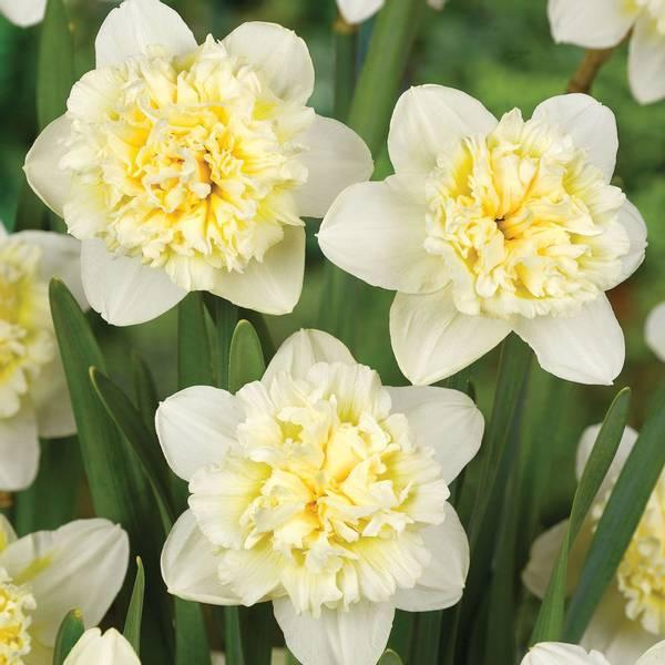 Bilde av NYHET! Narcis Ice King - 5 stk. blomsterløk