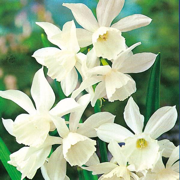 Bilde av Narcis Triandrus Thalia - 8 stk. blomsterløk