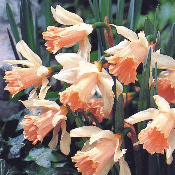 Bilde av Narcis Rosy Sunrise - 5 stk. blomsterløk