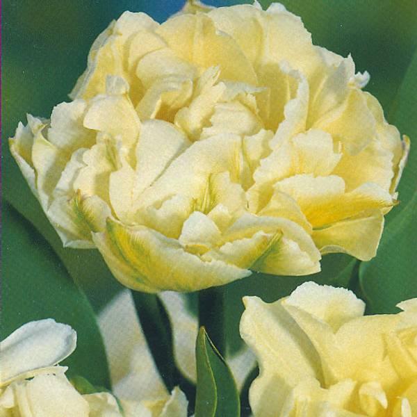 Bilde av Tulipan Verona - 8 stk. blomsterløk