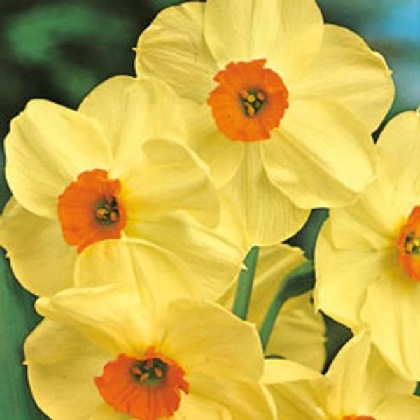 Bilde av Narcis Scarlet Gem - 5 stk. blomsterløk