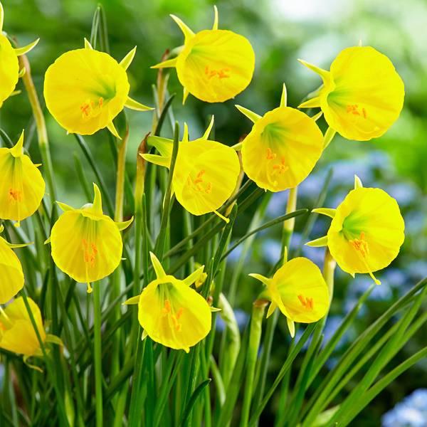 Bilde av Narcis Oxford Gold - 5 stk. blomsterløk