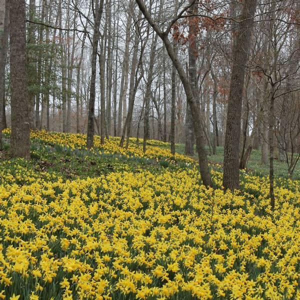 Bilde av Narcis *February Gold (Viltvoksende) - 10 stk.