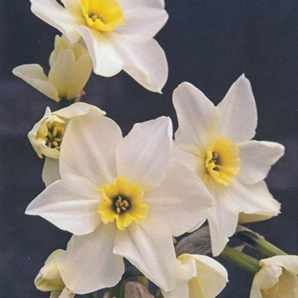 Bilde av Narcis Lieke - 5 stk. blomsterløk