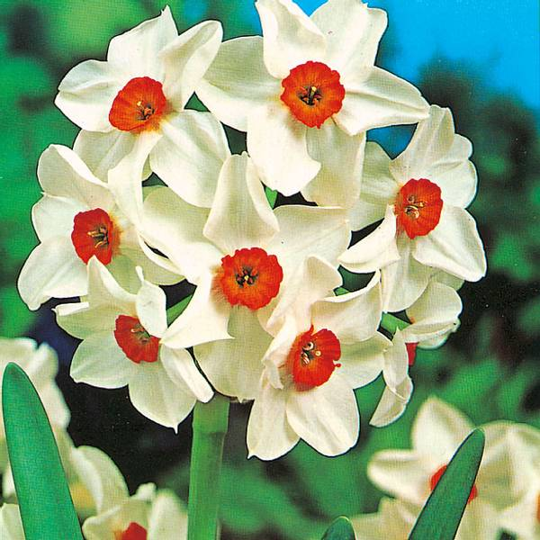 Bilde av Narcis Geranium - 5 stk. blomsterløk