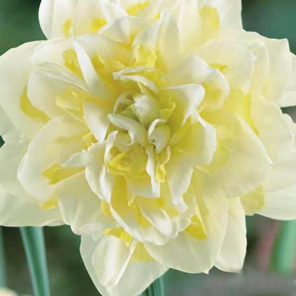 Bilde av Narcis Irene Copeland - 5 stk. blomsterløk