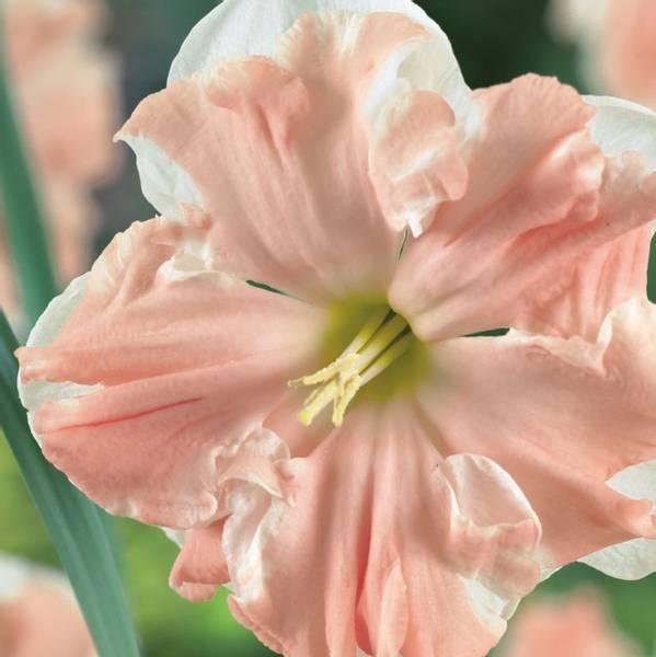 Bilde av Narcis Apricot Whirl* - 5 stk. blomsterløk