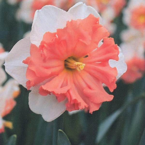 Bilde av Narcis Shrike - 3 stk. blomsterløk