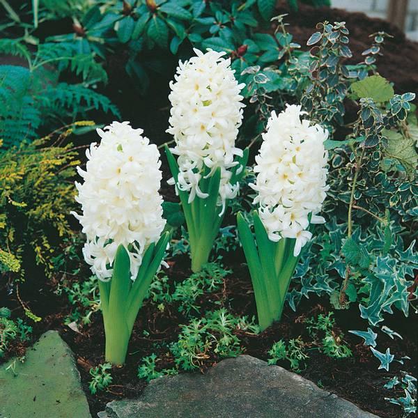 Bilde av Hyacint Carnegie - 5 stk. blomsterløk