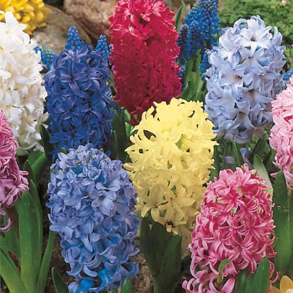 Bilde av Hagesvibler i blanding - 10 stk. blomsterløk