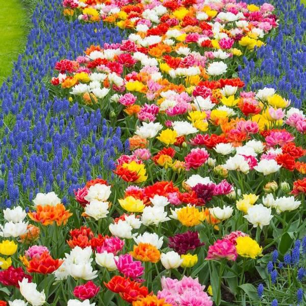 Bilde av Kjempetilbud! *Doble, tidlige tulipaner og