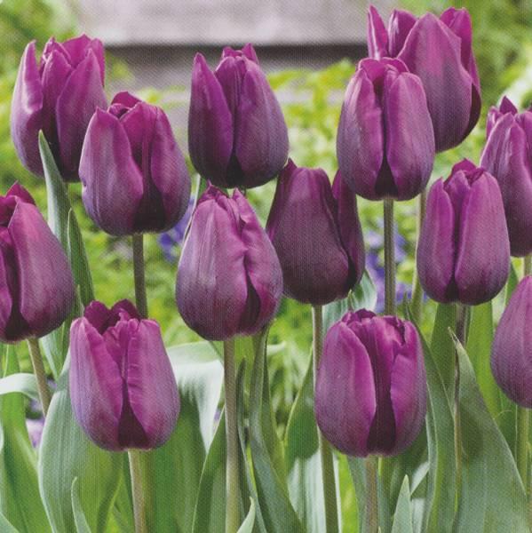 Bilde av Tulipan *Deep Purple - 60 stk. blomsterløk
