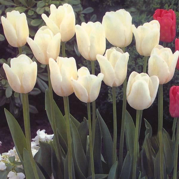 Bilde av Tulipan White Dream - 30 stk. blomsterløk