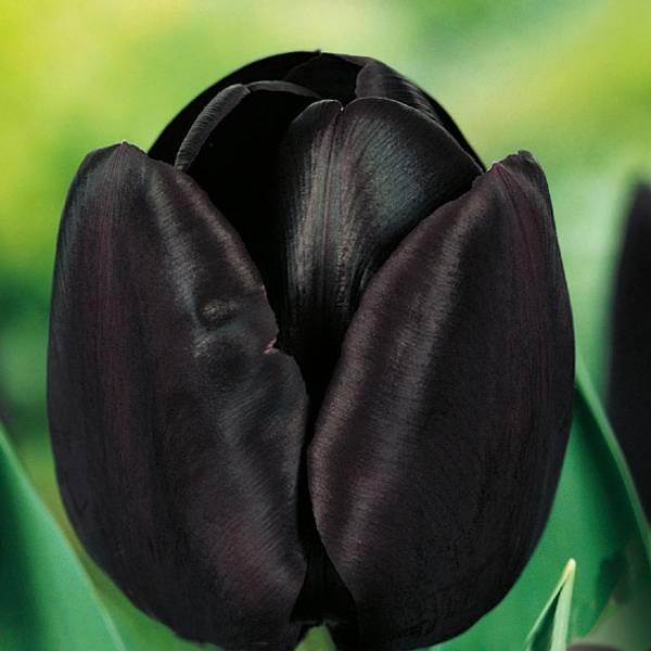 Bilde av Tulipan Paul Scherer  - 8 stk. blomsterløk