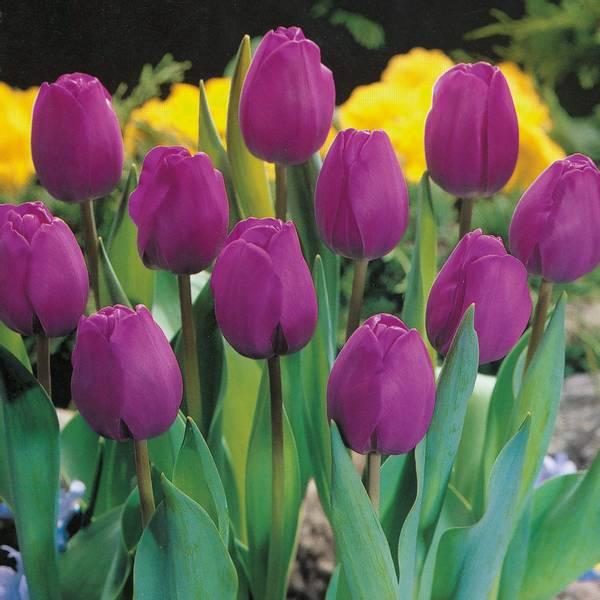 Bilde av Tulipan Attila - 10 st. blomsterløk