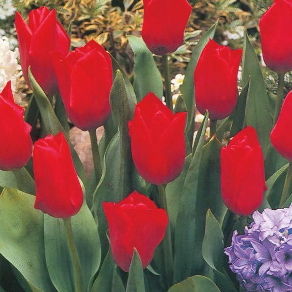 Bilde av Tulipan Oscar  - 10 stk. blomsterløk