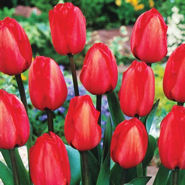 Bilde av Tulipan Red Impression - 60 stk. blomsterløk