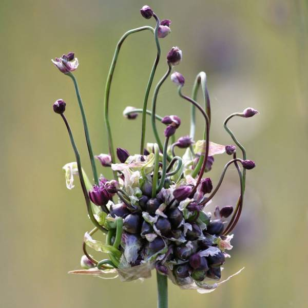 Bilde av NYHET! Allium Art -10 stk