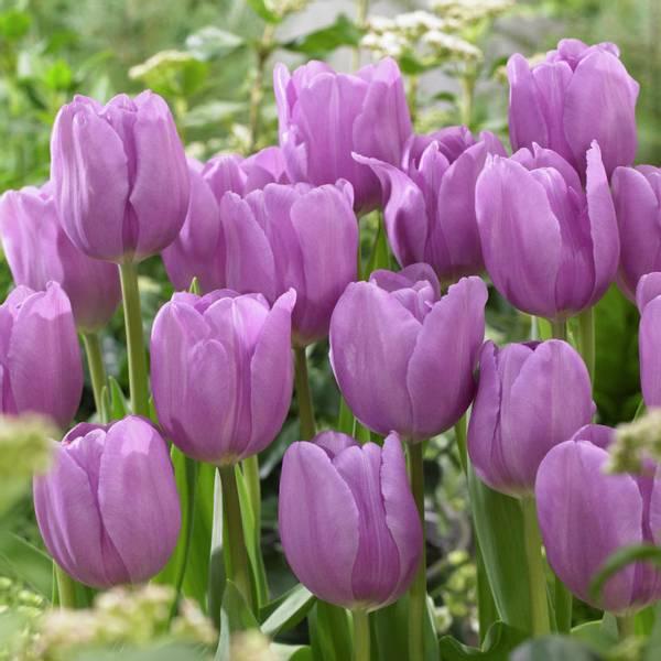 Bilde av Tulipan Alib  - 10 stk. blomsterløk