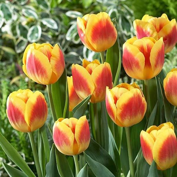 Bilde av NYHET! Tulipan Brigitta  - 10 stk. blomsterløk