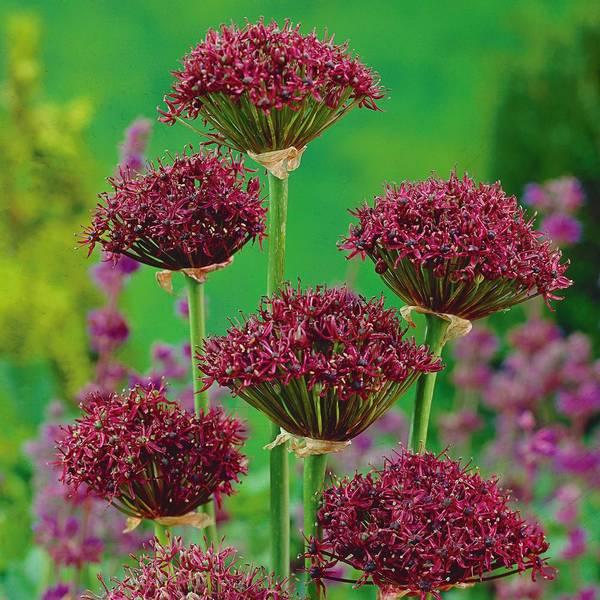 Bilde av NYHET! Allium Atropurpureum*