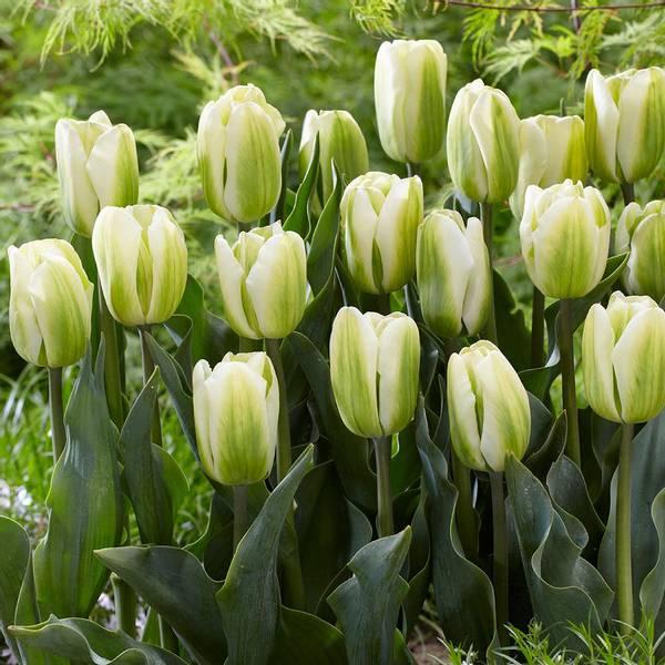 Bilde av NYHET! Tulipan Green Spirit - 8 stk. blomsterløk