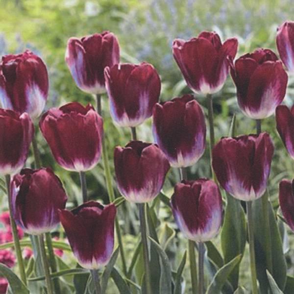 Bilde av Tulipan Kansas Proud - 8 stk. blomsterløk