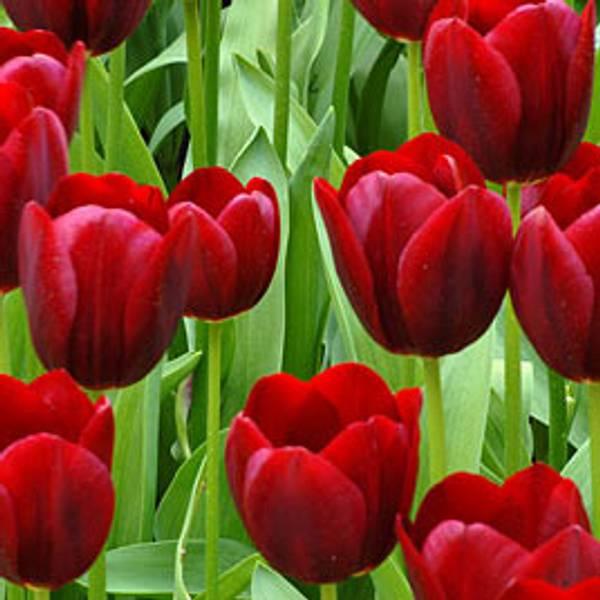 Bilde av Tulipan National Velvet  - 8 stk. blomsterløk