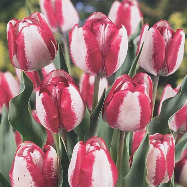 Bilde av Tulipan Hotpants  - 10 stk. blomsterløk