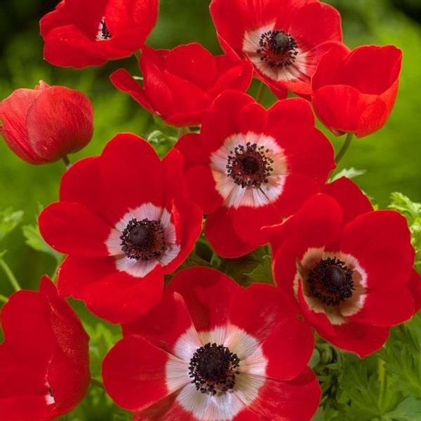 Bilde av NYHET! Anemone Coronaria Hollandia