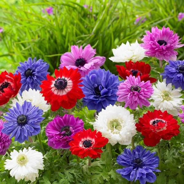 Bilde av Anemone St. Brigid Mix. - 10 stk. blomsterløk