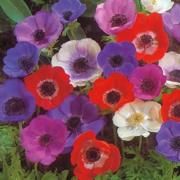 Bilde av Anemone Coronaria 'De Caen Mix.'  - 10 stk.