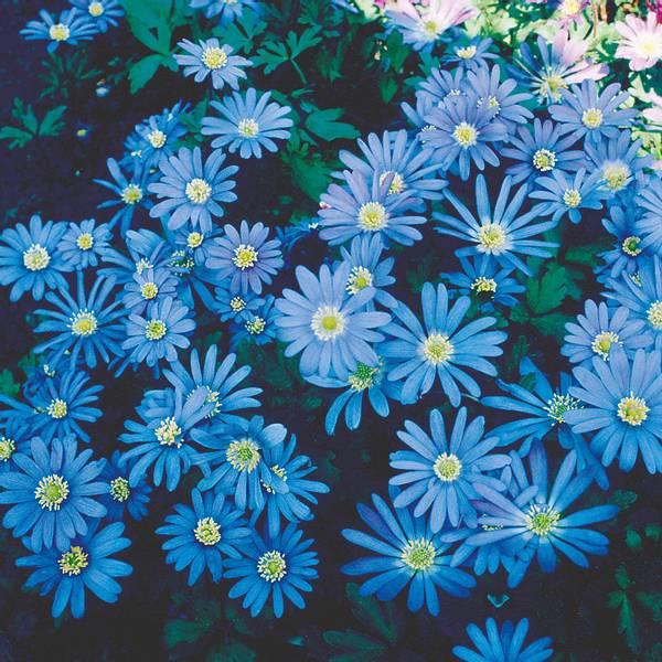 Bilde av Anemone blanda 'Blue Shades'  - 15 stk.