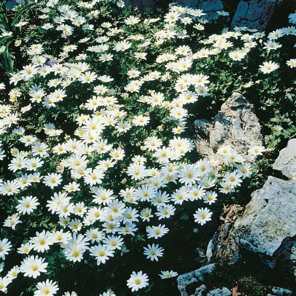 Bilde av Anemone* blanda 'White Splendour' - 10 stk.
