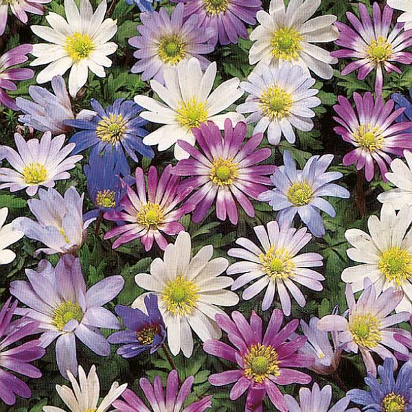 Bilde av Anemone blanda Miks  - 10 stk. blomsterløk